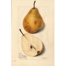 Glou Morceau (organic) SOLD OUT